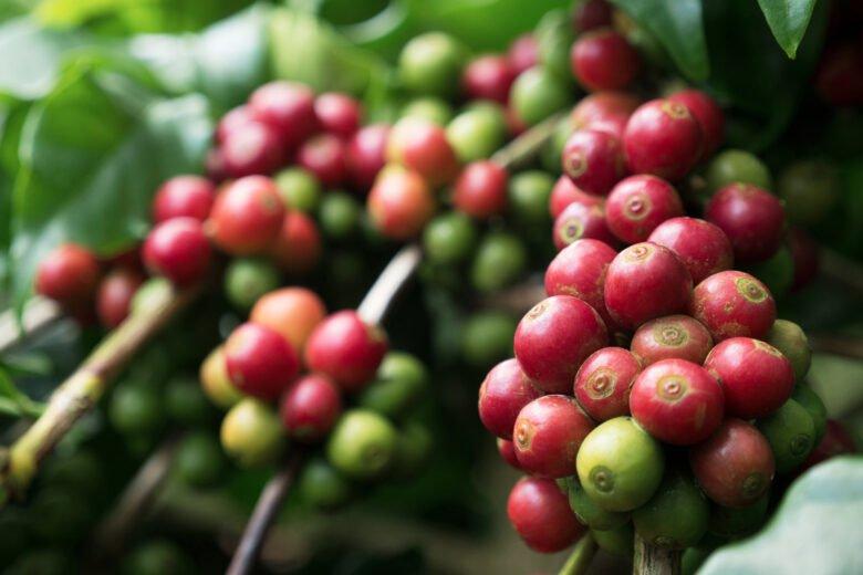 coffea arabica nana bohnen