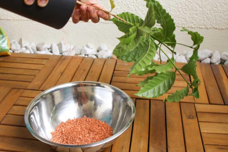 Coffea arabica umtopfen