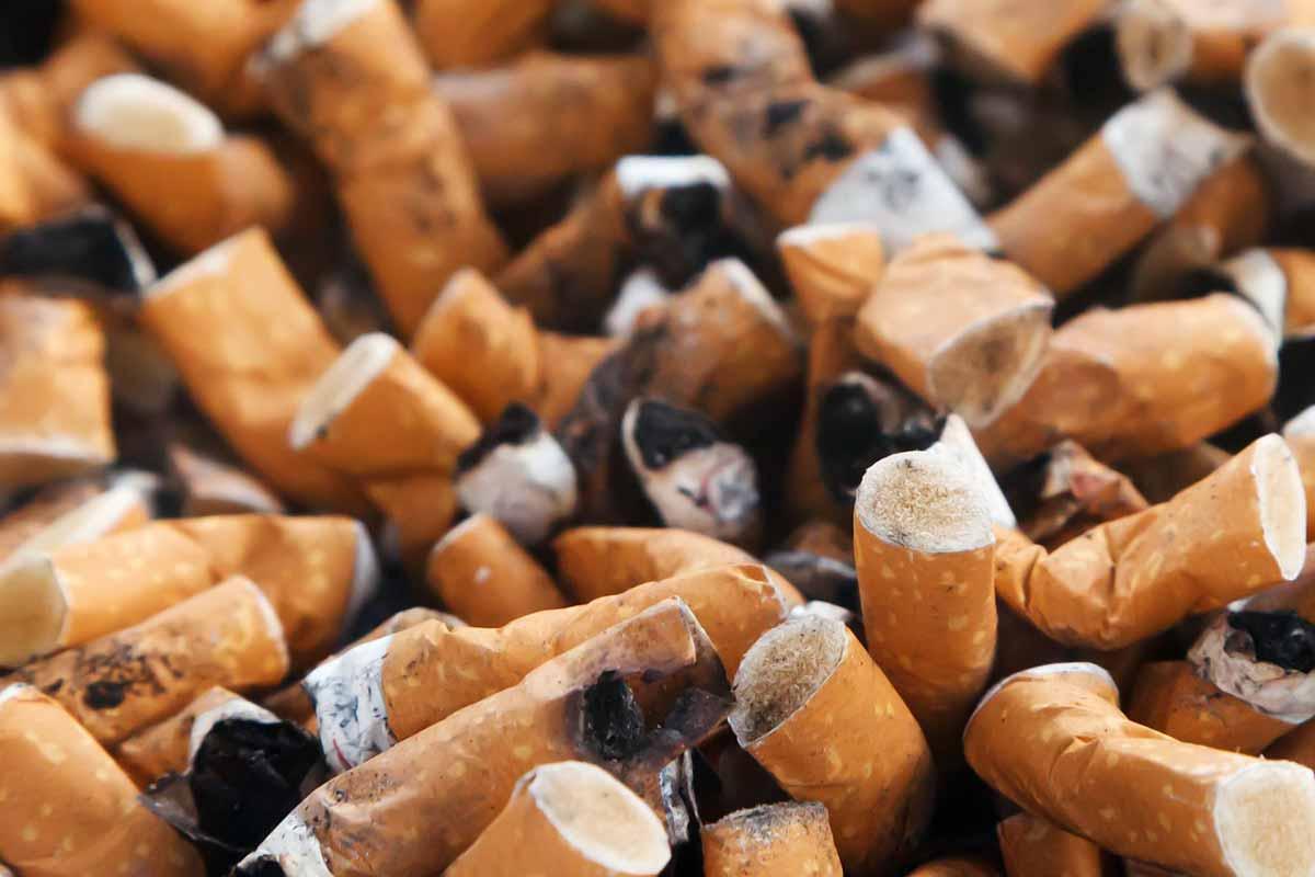 Coffea arabica: Schädlinge mit Nikotin vergiften