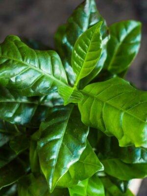 cropped-kaffeepflanze-nana.jpg