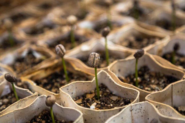 Kaffeebohnen einpflanzen