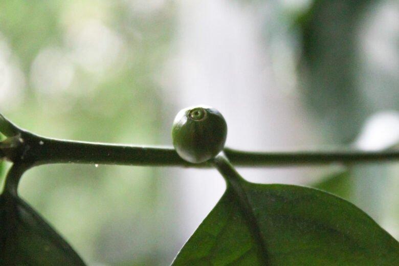 kaffeekirsche an kaffeepflanze