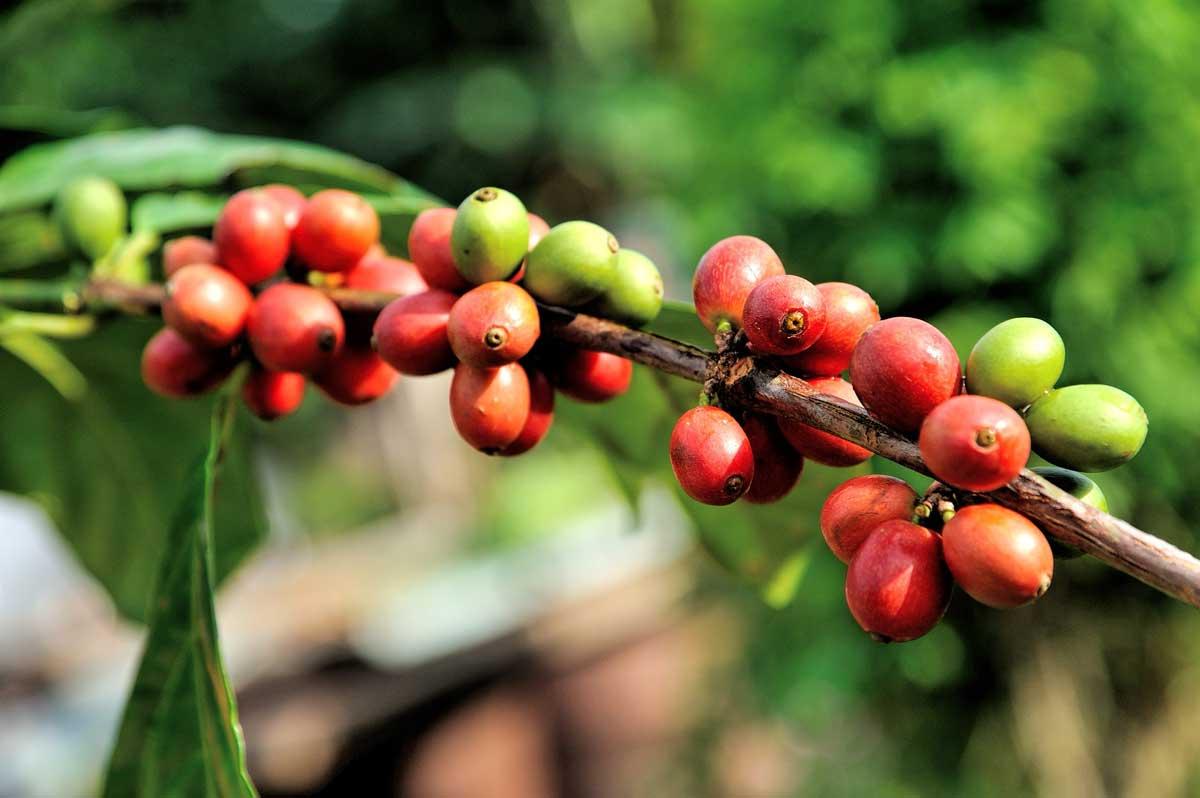 Kaffeekirschen in rot und grün