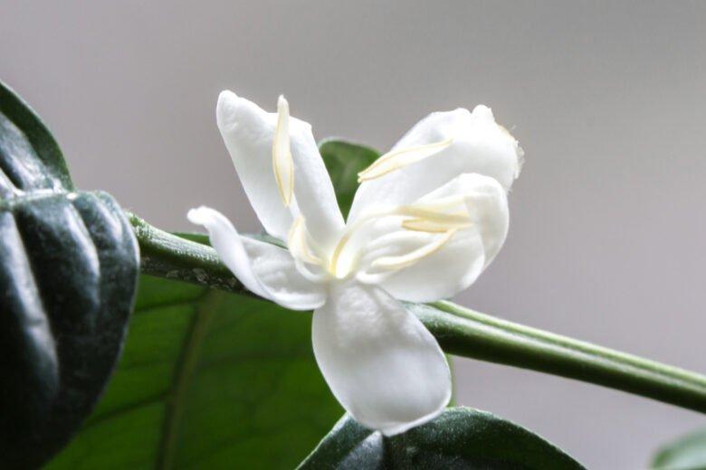 kaffeepflanze blüte