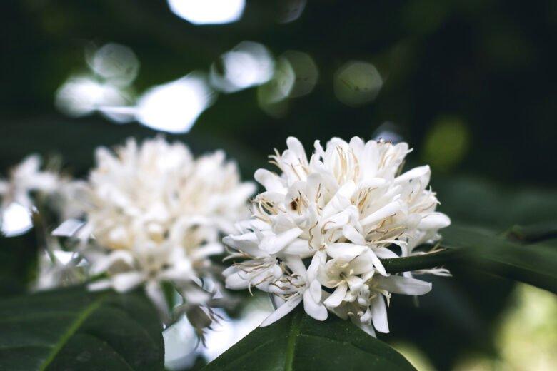 kaffeepflanze blüten