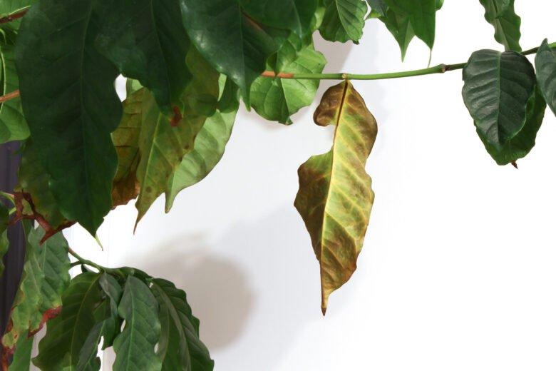 kaffeepflanze braune blätter entfernen
