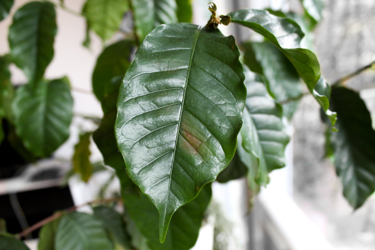 kaffeepflanze braune flecken