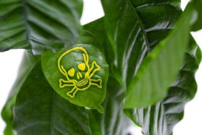 kaffeepflanze coffea arabica giftig