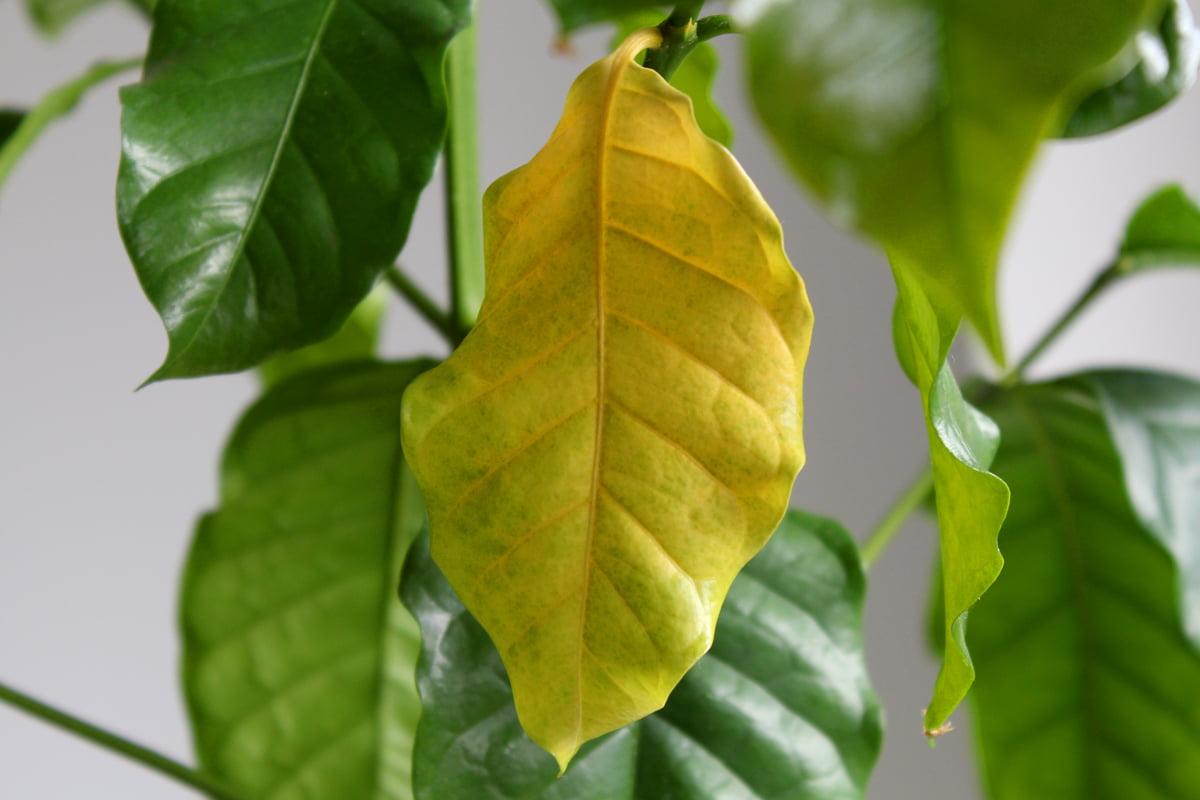 kaffeepflanze gelbe blätter