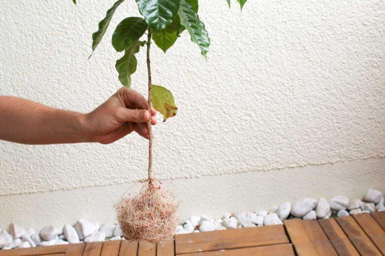 Kaffeepflanze umpflanzen Wurzel Wurzelballen