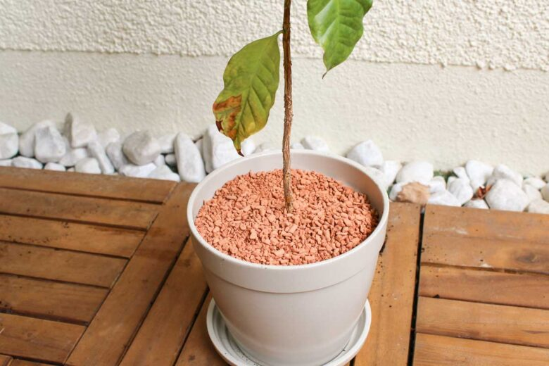 Kaffeepflanze umtopfen Erde oberste Schicht
