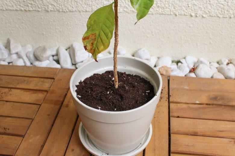 Kaffeepflanze umtopfen - Welche Erde