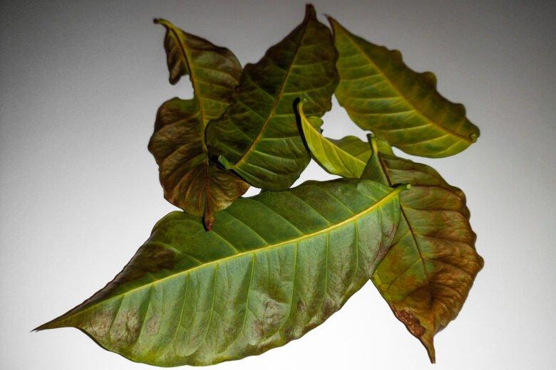 kaffeepflanze verliert blätter