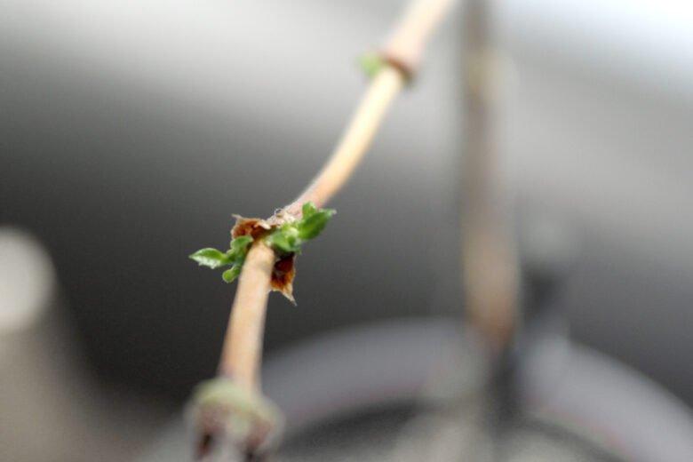 kaffeepflanze winter düngen vergeilung