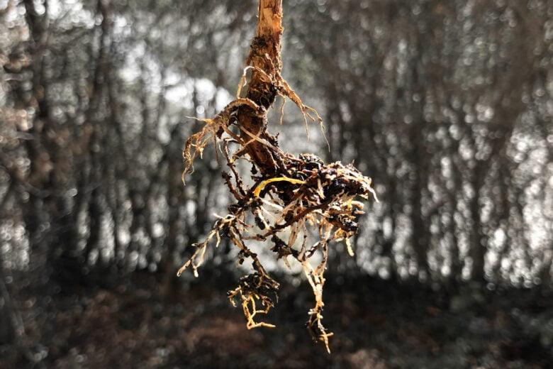 kaffeepflanze wurzel verfault