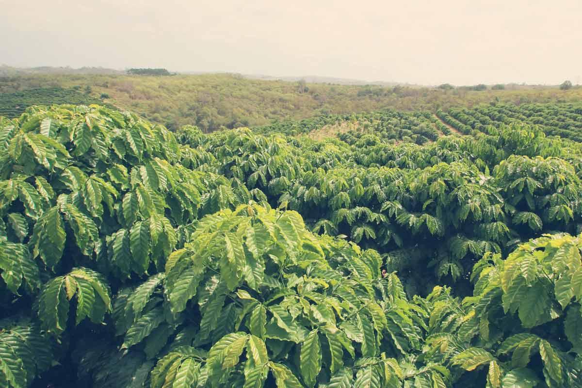Kaffeeanbau auf einer großen Plantage