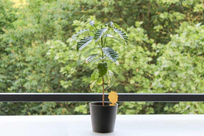 Kaffeepflanze auf Balkon im Freien