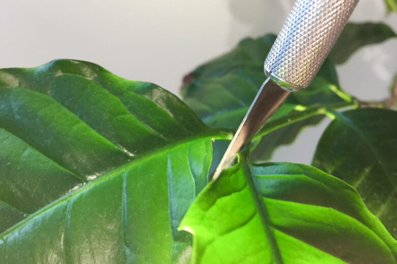 Kaffeepflanze beschneiden