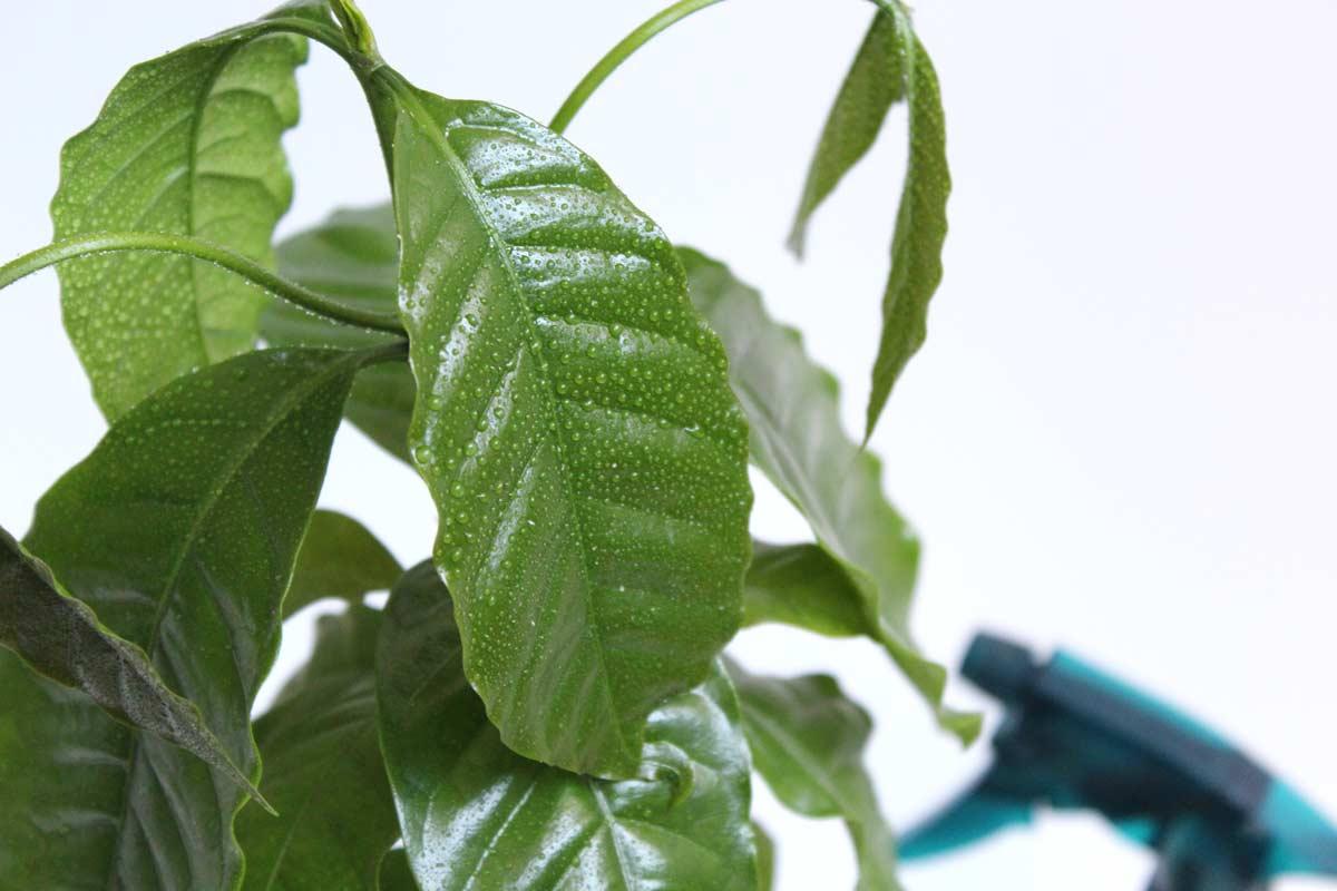 Kaffeepflanze besprühen