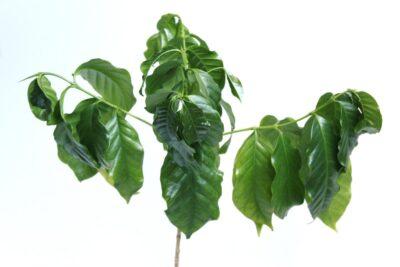 Kaffeepflanze Blätter