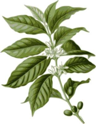 kaffeepflanze botanisch botanik