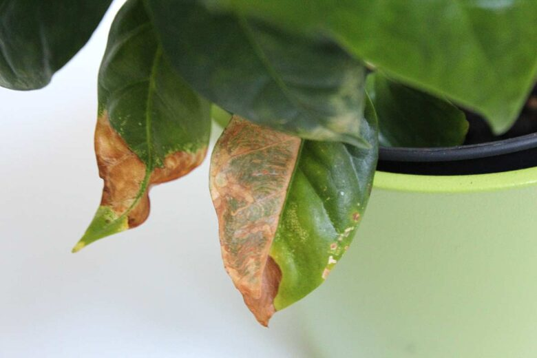 Kaffeepflanze braune Blätter