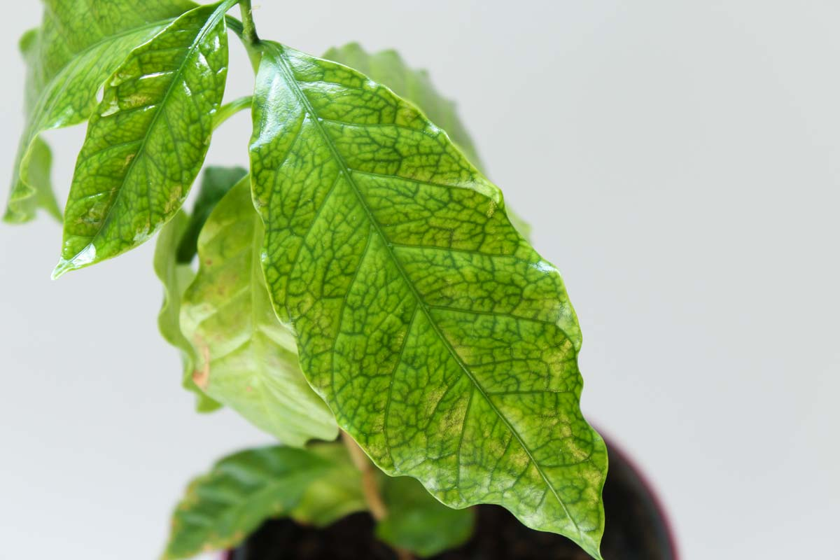 Kaffeepflanze Eisenmangel (Chlorose)