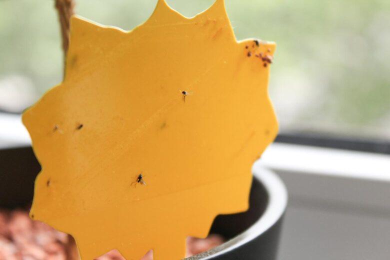 Kaffeepflanze Gelbtafel