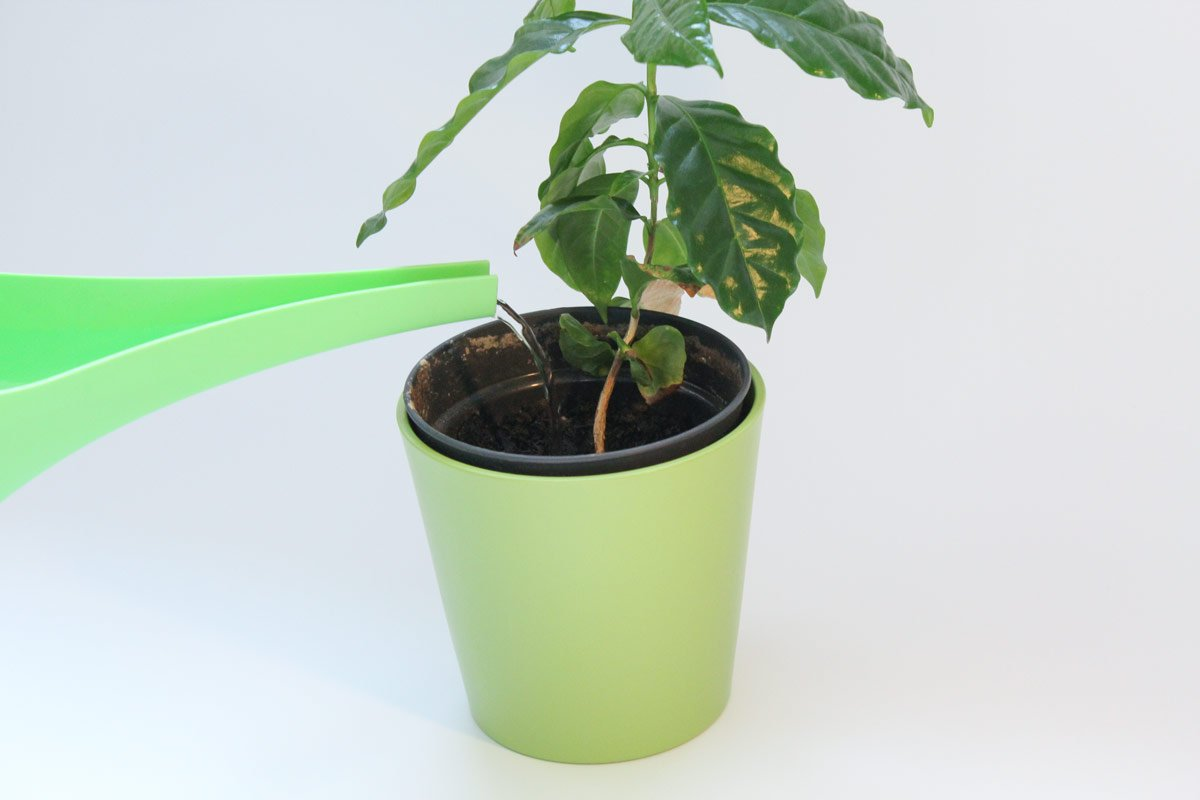Kaffeepflanze gießen
