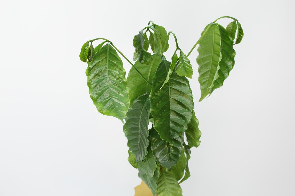 Kaffeepflanze hängende Blätter
