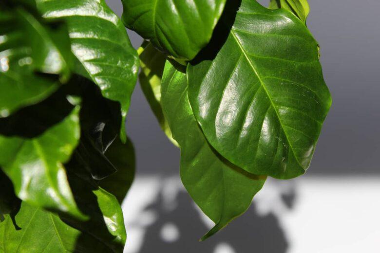 kaffeepflanze kaufen