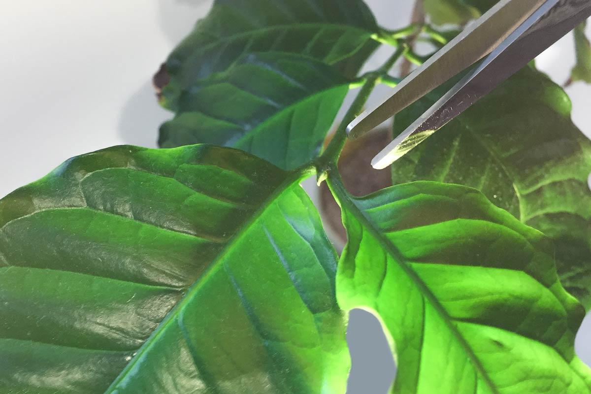 Kaffeepflanze schneiden