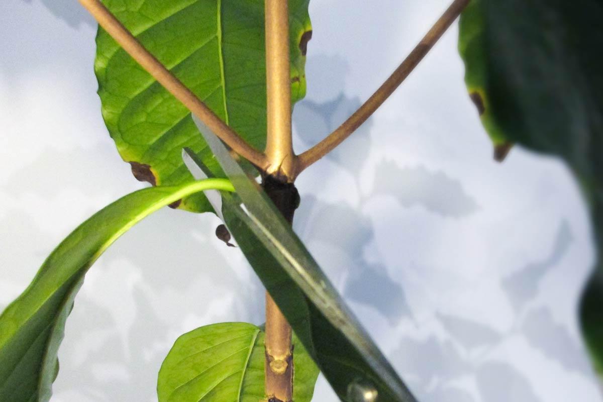 Kaffeepflanze schneiden Pflege