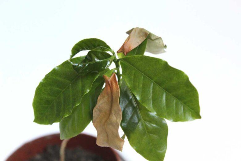 Kaffeepflanze Sonnenbrand