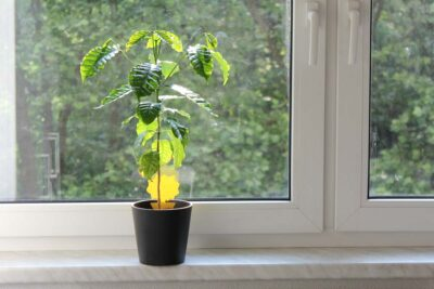Kaffeepflanze Standort Fensterbank