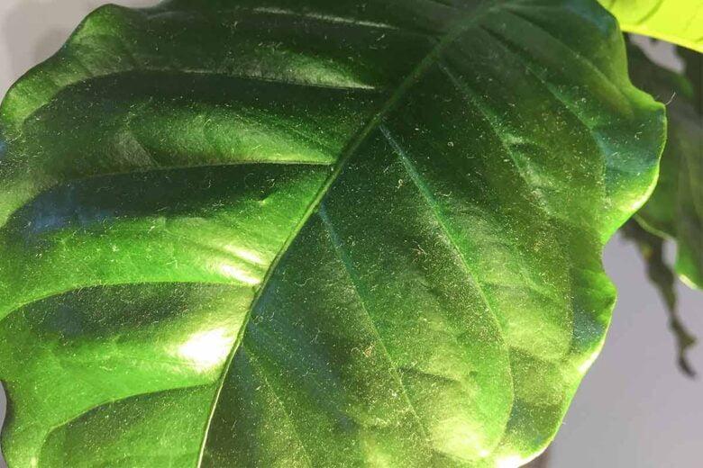 Kaffeepflanze Staub Blätter