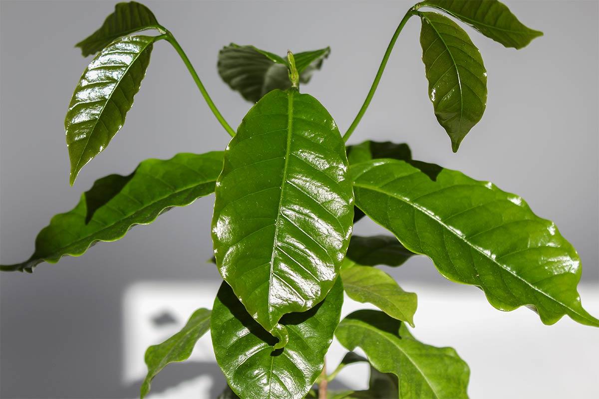 Kaffeepflanze Steckbrief
