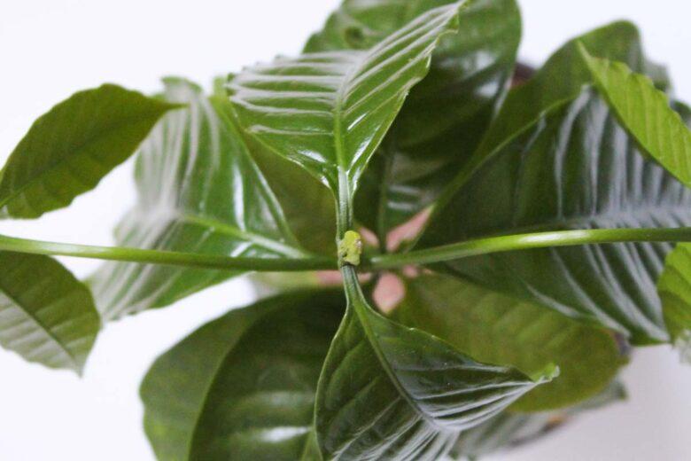Kaffeepflanze vermehren Stecklinge