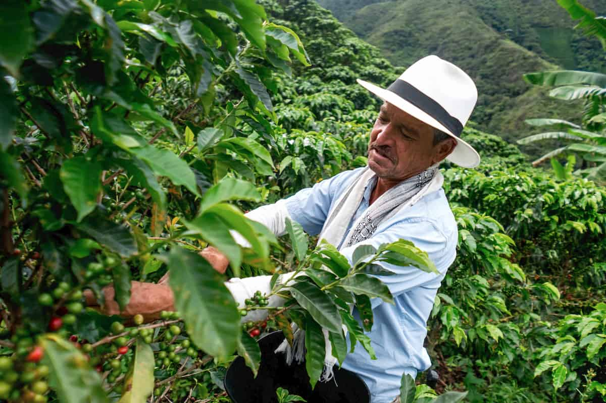 kaffeepflanze wachstum
