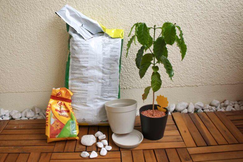 Kaffeepflanzen umtopfen