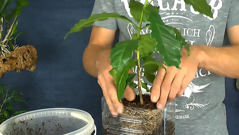 Kaffeepflanze Pflege