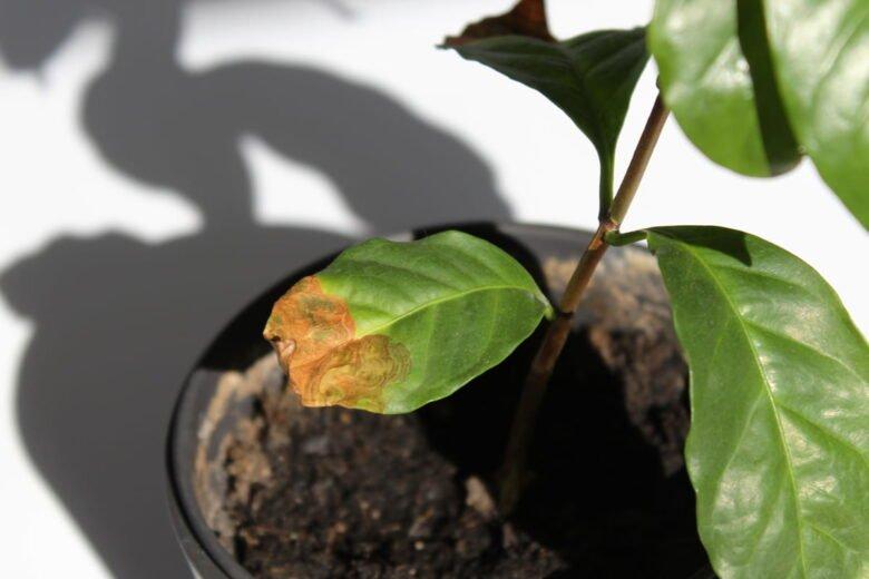 Warum hat meine Kaffeepflanze braune Blätter? Zu viel gegossen?